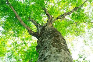 新緑のブナの巨木・マザーツリーの写真素材 [FYI02623928]