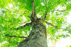 新緑のブナの巨木・マザーツリーの写真素材 [FYI02623986]
