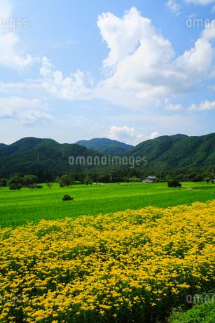 嵯峨越畑 オミナエシの畑の写真素材 [FYI02624005]