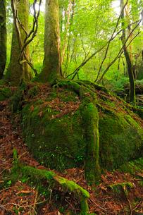 屋久島 ヤクスギランドの写真素材 [FYI02624028]