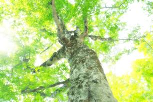新緑のブナの巨木・マザーツリーの写真素材 [FYI02624080]