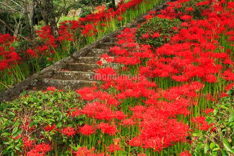 仏隆寺参道のヒガンバナの写真素材 [FYI02624121]