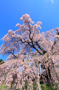 三春の滝桜の写真素材 [FYI02624244]