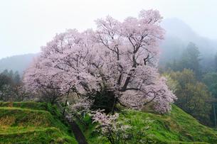 仏隆寺参道の千年桜の写真素材 [FYI02624273]