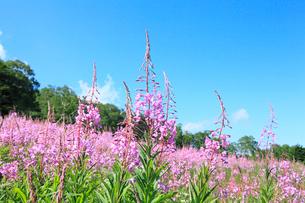 志賀高原 一の瀬のヤナギランの写真素材 [FYI02624479]