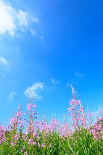 志賀高原 一の瀬のヤナギランの写真素材 [FYI02624480]