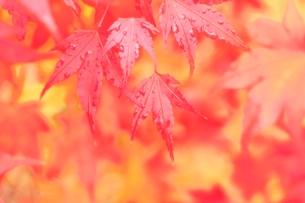モミジ紅葉の写真素材 [FYI02624644]