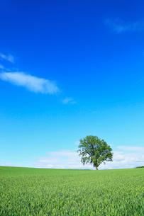 美瑛(哲学の木と麦畑)の写真素材 [FYI02624666]