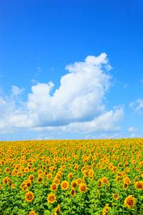ヒマワリの花と青空の写真素材 [FYI02625411]