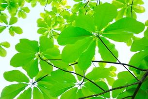 ホオノキ新緑の葉の写真素材 [FYI02625562]