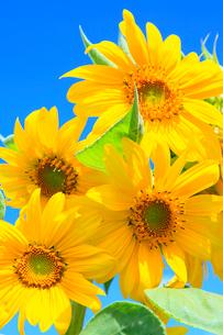 ヒマワリの花と青空の写真素材 [FYI02626103]