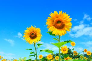 ヒマワリの花と青空の写真素材 [FYI02626777]