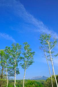 新緑の蒜山高原 シラカバの木立と遠望する大山の写真素材 [FYI02626806]