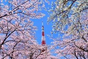 増上寺境内より東京タワーと桜の写真素材 [FYI02627323]