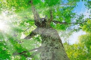 新緑のブナに光芒の写真素材 [FYI02627332]