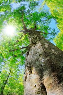 新緑のブナに太陽と光芒の写真素材 [FYI02627615]