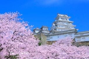 サクラと姫路城の写真素材 [FYI02627627]