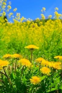 タンポポの花とナノハナの写真素材 [FYI02628047]