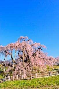 三春の滝桜の写真素材 [FYI02628068]