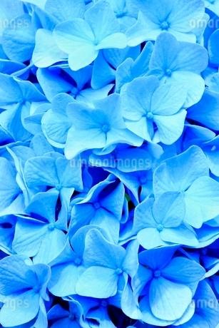 アジサイの花の写真素材 [FYI02628139]