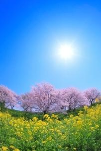 サクラ堤公園のサクラとナノハナに太陽の写真素材 [FYI02628148]