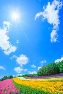 ファーム富田 彩りの畑(コマチソウ,カルフォルニアポピー) の写真素材 [FYI02629065]