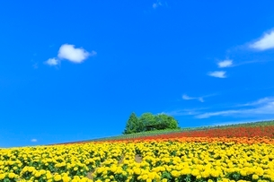 かんのファーム,花畑(マリーゴールド)と緑の樹林の写真素材 [FYI02629119]