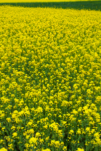 A field of rapeseed in full bloomの写真素材 [FYI02631516]