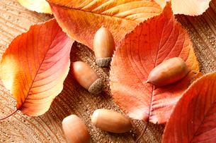 紅葉した桜の葉とドングリの写真素材 [FYI02639531]