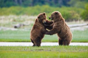 Brown bears, Katmai National Park, Alaska, USAの写真素材 [FYI02639593]