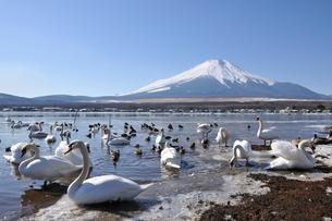 山中湖の白鳥と富士山の写真素材 [FYI02640023]
