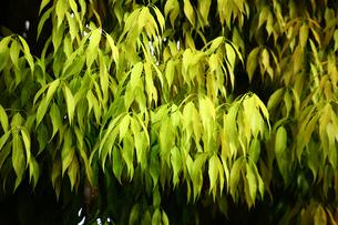 シラカシの若葉の写真素材 [FYI02641041]