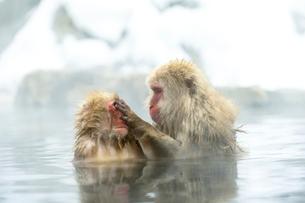 温泉で毛づくろいをするニホンザルの写真素材 [FYI02641088]