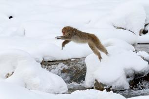 川をジャンプするニホンザルの写真素材 [FYI02641095]