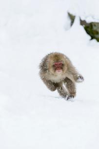 走る若いオスのニホンザルの写真素材 [FYI02641153]