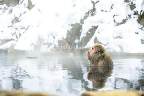 温泉にのんびりと浸かるメスのニホンザルの写真素材 [FYI02641204]