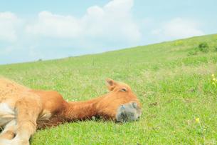 昼寝をする馬の写真素材 [FYI02641246]