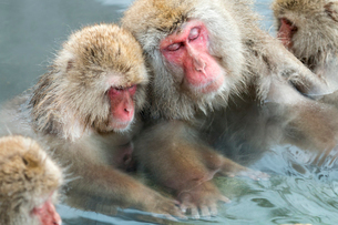 寄り添って温泉に入るニホンザルの写真素材 [FYI02641248]