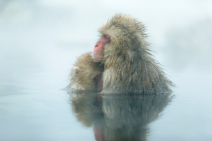 親子で温泉に入るニホンザル。授乳中。の写真素材 [FYI02641269]