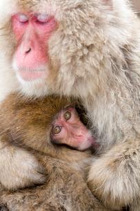 授乳するニホンザルの写真素材 [FYI02641307]