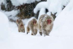 雪の中温泉へとやってくるニホンザルの写真素材 [FYI02641317]