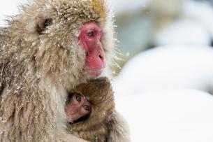 寒さに耐える親子のニホンザルの写真素材 [FYI02641345]