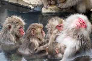 温泉に入りながら、みんなで大人のメスざるの毛づくろいをするの写真素材 [FYI02641358]