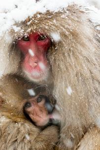 授乳するニホンザルの写真素材 [FYI02641512]