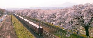 満開の白石川堤一目千本桜とJR東北本線貨物列車の写真素材 [FYI02641538]