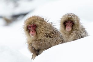寒さに耐える子ザルの写真素材 [FYI02641555]
