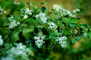 シルバープリペットの開花の写真素材 [FYI02641581]