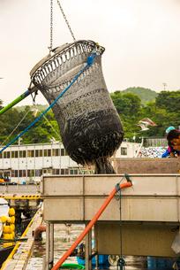 女川漁港 水揚げの写真素材 [FYI02641584]