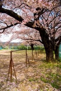 清哲町 校庭の桜と鉄棒の写真素材 [FYI02641621]