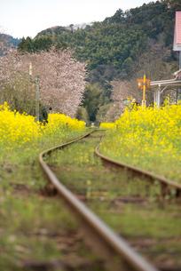 いすみ鉄道 菜の花と線路の写真素材 [FYI02641739]